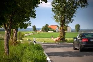 Mit zu hoher Geschwindigkeit auf der Landstraße ist die Gefahr von Wildunfällen gegeben.