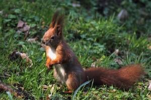 Eichhörnchen sind kein Wildunfall