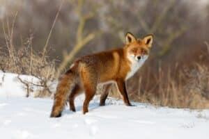 Wildunfall mir Fuchs